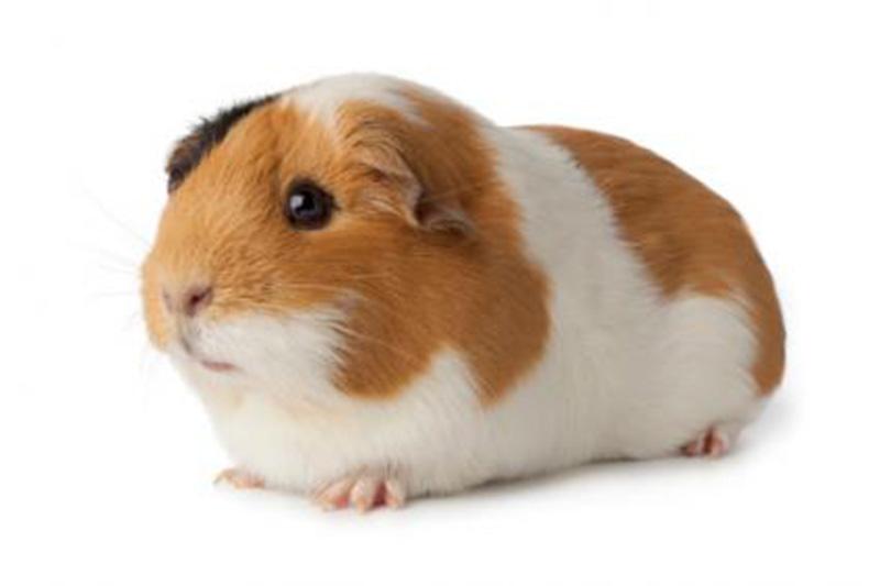 Lợn Ghi-nê Loài Vật Cảnh Đáng yêu