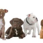 Top 6 giống chó cảnh được yêu thích nhất hiện nay bạn nên biết