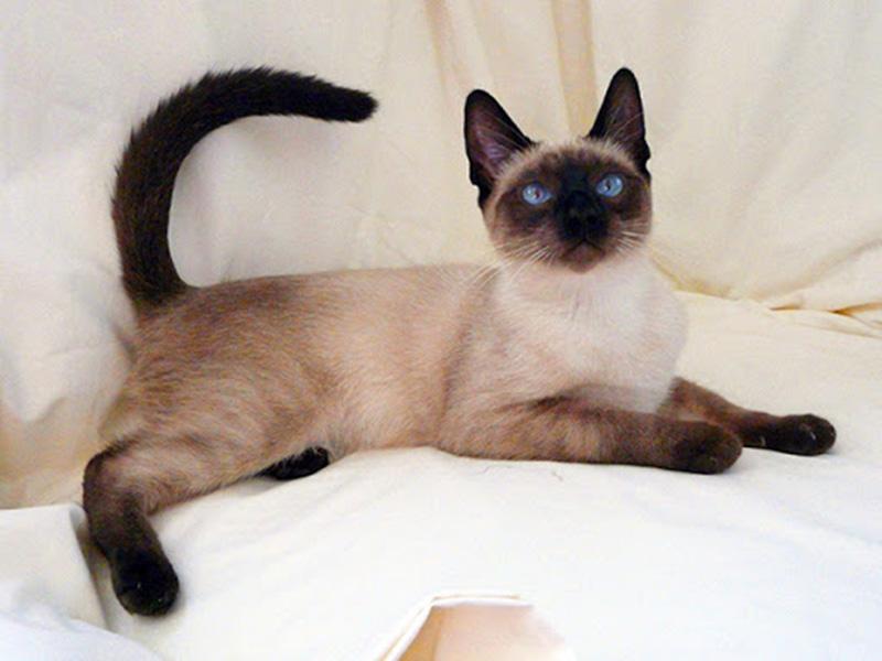 Mèo Xiêm Loài Vật Cảnh Cho Các Tín Đồ Mèo