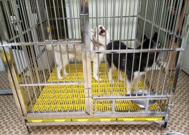 Thiết kế chuồng cho chó Akita Inu, Labrador, Golden Retriever