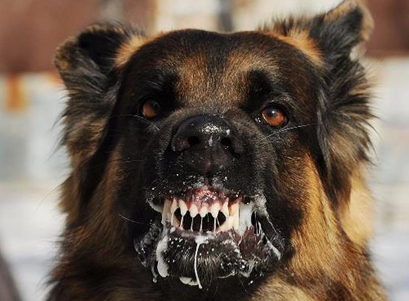 Bệnh chó dại là một trong bệnh nguy hiểm ở chó