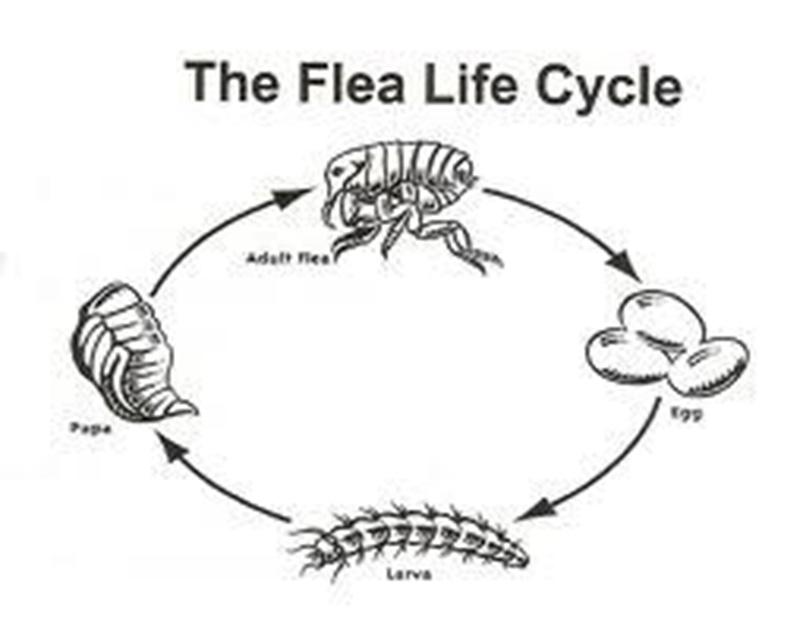 Vòng đời của bọ chét.