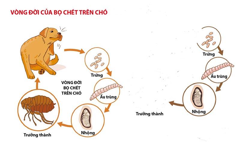Nguồn gốc của và điều kiện để ve chó phát triển