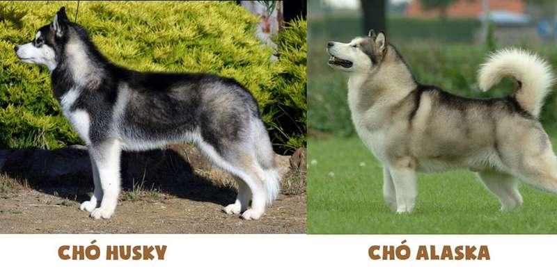 Đuôi của chó Alaska và Husky.