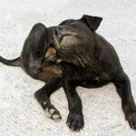 8 cách trị ve chó trong 1 nốt nhạc bạn nên biết