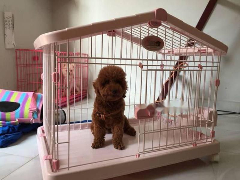 Thiết kế chuồng cho chó Poodle, Chiihuahua, Phốc sóc