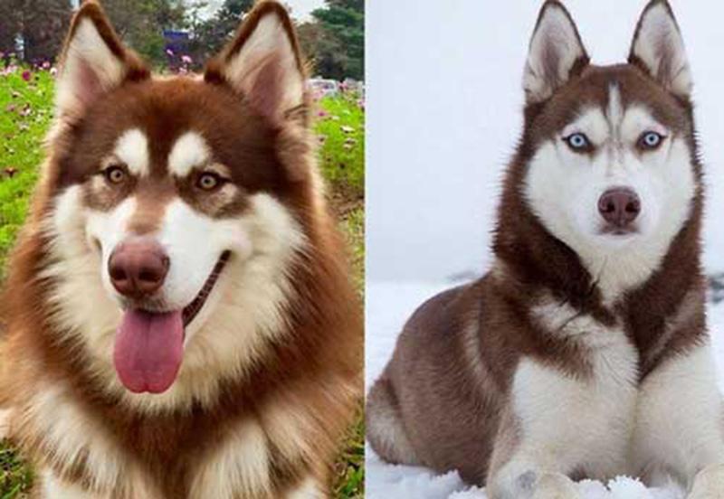 Các đặc điểm trên khuôn mặt chó Alaska và Husky