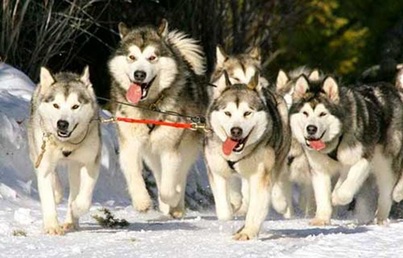 Đặc điểm và phân bố màu lông chó Alaska và Husky